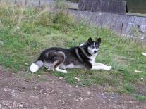 Полигусовская собака (1)